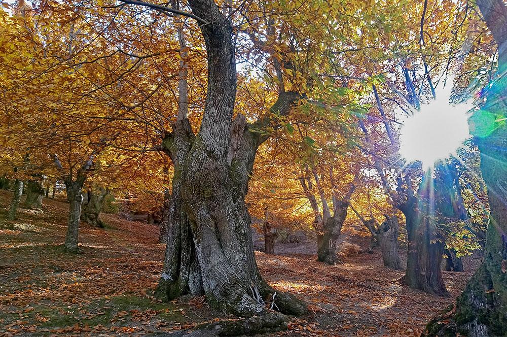 Soto de castaños en otoño