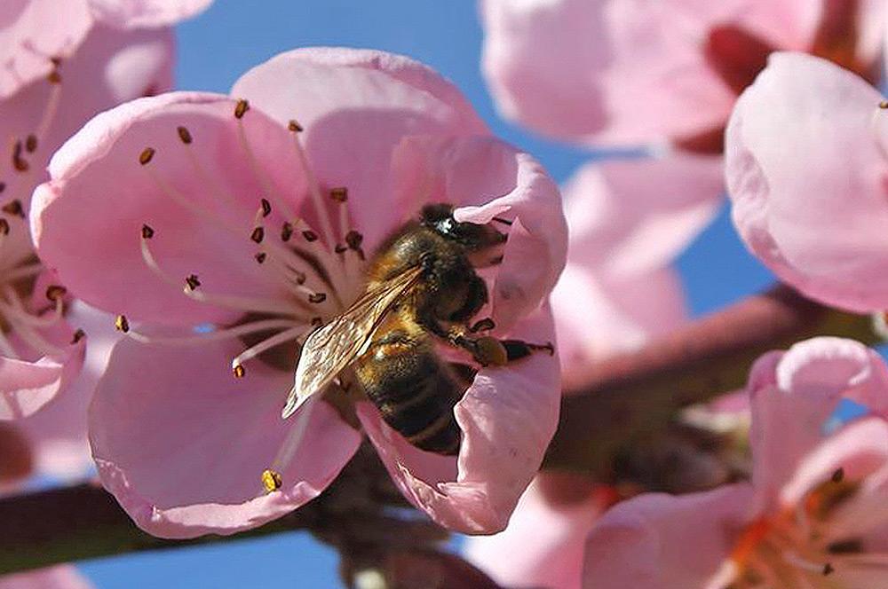 abeja poliniza flor en Corullón